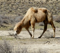 Верблюды на Айдаркуле
